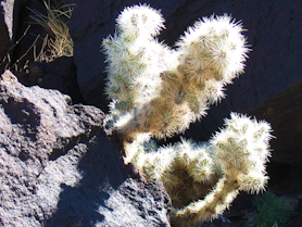 Blue Diamond Cholla