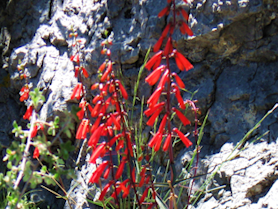 Wild Penstemon