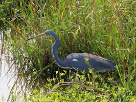 South Padre Island – Tri Colored Heron