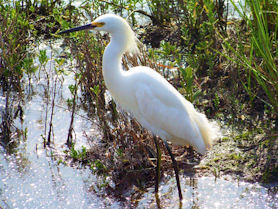South Padre Island – Snowy Egret
