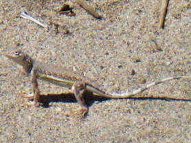 Coachella Valley fringe-toed lizard